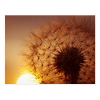 Sunset and Dandelion Postcard