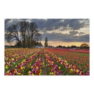Sunset at Tulip Farm in Oregon Poster