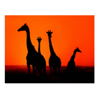 Sunset in Africa Post Cards