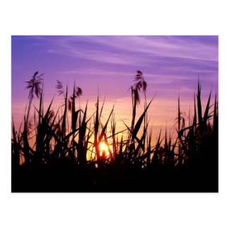 Sunset in the reed - Postcard