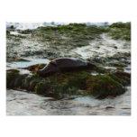 Sunset Lit Harbor Seal II at San Diego Photo Print