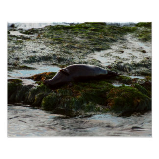 Sunset Lit Harbor Seal II at San Diego Poster