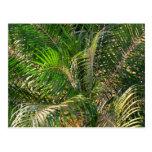 Sunset Lit Palm Fronds Postcard