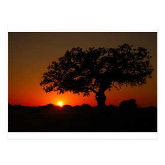 Sunset Live Oak Post Cards