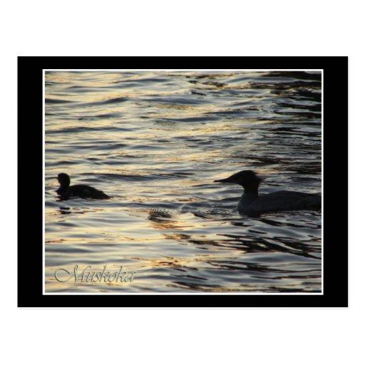Sunset Mergansers Postcard