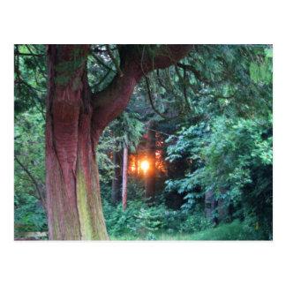 Sunset Through Trees Postcard
