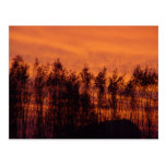 Sunset-Trees on Fire Postcard