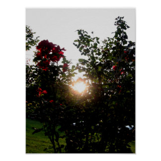 Sunshine Caught in Roses Poster