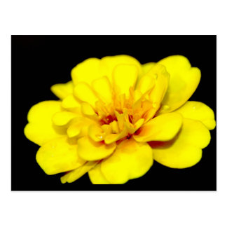 Sunshine Marigold - Postcard