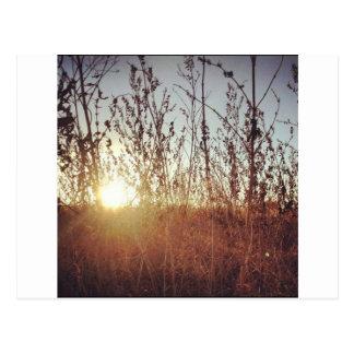 Sunshine Through the Prairie Grasses Postcard