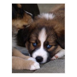 Super Cute Australian Shepherd Puppy Postcard
