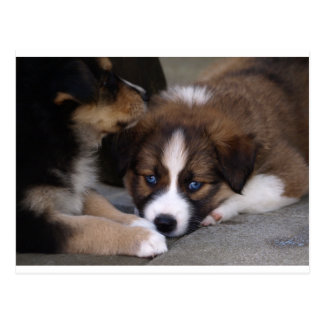 Super Cute Australian Shepherd Puppy Post Card