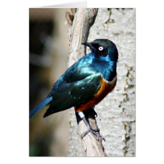 superb starling card