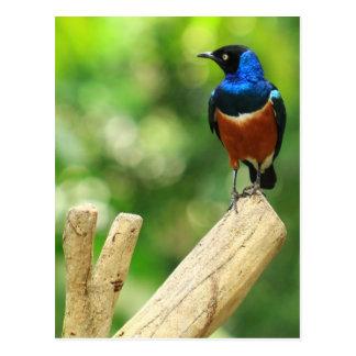 Superb Starling Postcard