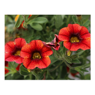 Superbells Spicy Calibrachoa Spring 2016 Postcard