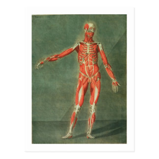 Superficial Muscular System of the Front of the Bo Postcard