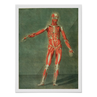 Superficial Muscular System of the Front of the Bo Posters