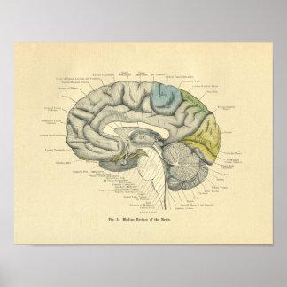Superficie anatómica del punto medio del cerebro póster