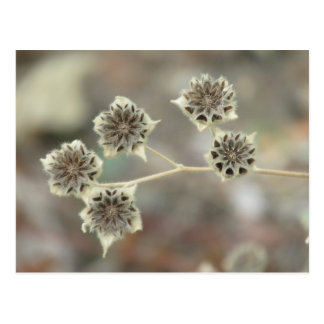 Superstition Mallow Seed Heads Postcard