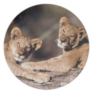 Suráfrica, cachorros de león plato de cena