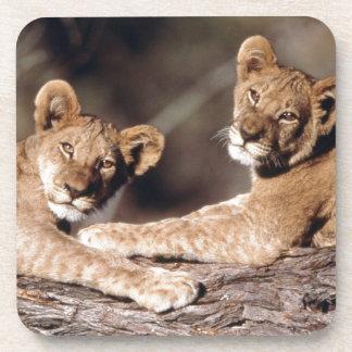 Suráfrica, cachorros de león posavaso