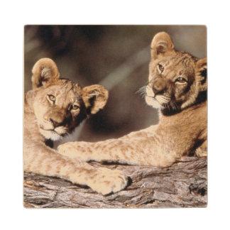 Suráfrica, cachorros de león posavasos de arce