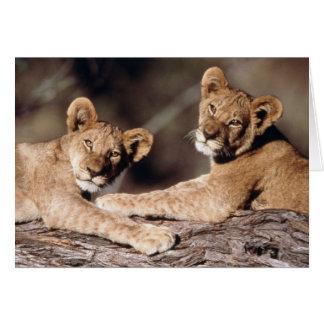 Suráfrica, cachorros de león tarjeta de felicitación
