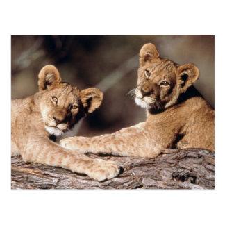 Suráfrica, cachorros de león tarjetas postales