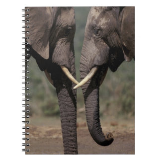 Suráfrica, Kalahari-Gemsbok NP, Gemsbok en Cuadernos