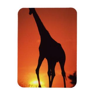 Suráfrica, Kruger NP.  Jirafa (Giraffa Imán