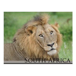 Suráfrica - león masculino postales