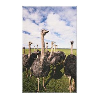 Suráfrica, opinión la avestruz impresiones en lona