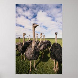 Suráfrica, opinión la avestruz póster