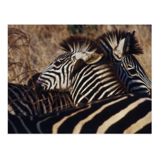 Suráfrica, opinión la cebra (Equus Burchellii) Postal