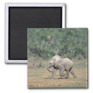 Suráfrica, parque nacional del elefante de Addo. B Imán Cuadrado