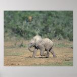 Suráfrica, parque nacional del elefante de Addo. B Impresiones