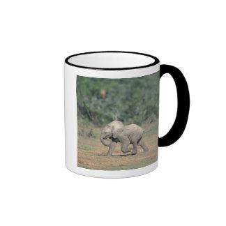 Suráfrica, parque nacional del elefante de Addo. B Taza