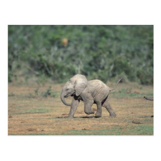 Suráfrica, parque nacional del elefante de Addo. Tarjeta Postal