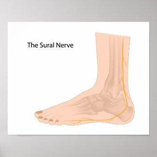 Sural nerve  Poster