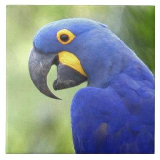 Suramérica, el Brasil, Pantanal. En peligro Azulejo Cuadrado Grande