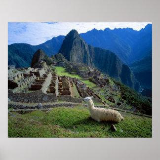 Suramérica, Perú. Una llama descansa sobre una col Impresiones