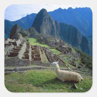 Suramérica Perú Una llama descansa sobre una col Etiquetas