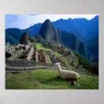 Suramérica, Perú. Una llama descansa sobre una col Póster