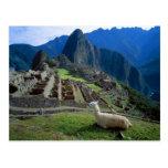 Suramérica, Perú. Una llama descansa sobre una col Tarjeta Postal