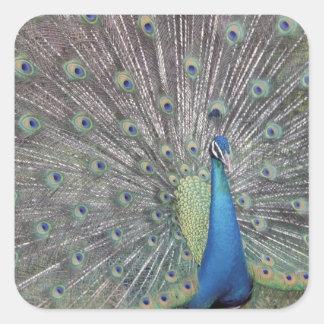 Suramérica, Venezuela, exhibición del pavo real Pegatina Cuadrada