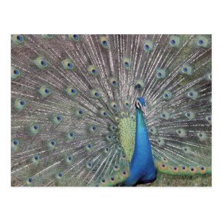 Suramérica, Venezuela, exhibición del pavo real Postal