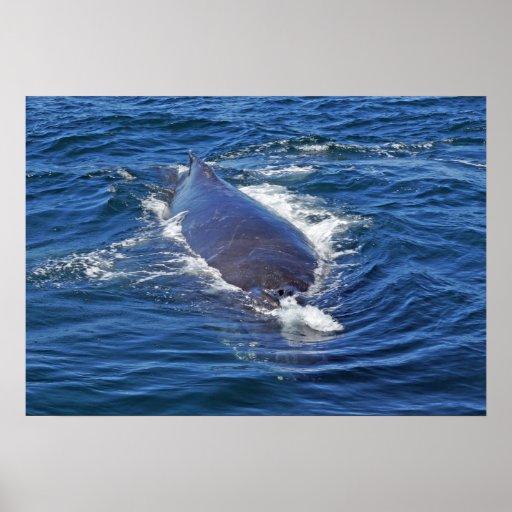 Surfacing Humpback Whale Print