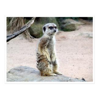 suricate del meerkat postal
