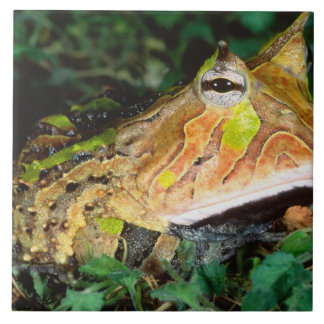 Surinam Horn Frog, Ceratophrys cornuta, Native Ceramic Tile