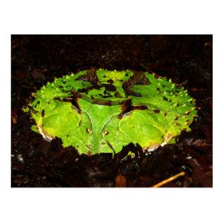 Surinam Horned Frog Ceratophrys Cornuta Postcard